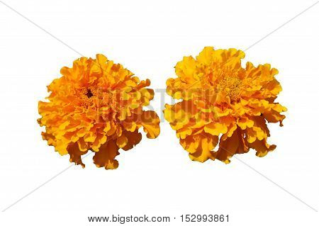 Two 'African Marigold' bears bold orange flowers isolated on white.