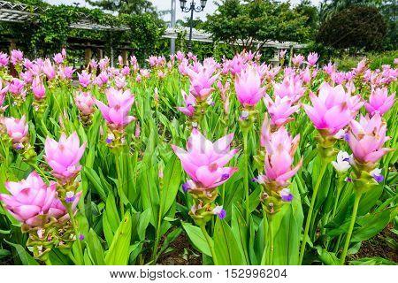 Selective focus Pink Siam tulip in center Rajapruek park Chiang Mai Thailand.