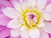 foto of yellow flower  - pink yellow flower background - JPG