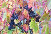 The Vineyard'S Bounty - Grapes poster