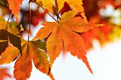 picture of canada maple leaf  - Beautiful maple leaves in autumn - JPG