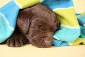Purebred labrador retriever puppy sleeping. poster