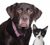 stock photo of chocolate lab  - Old labrador retriever and cat - JPG