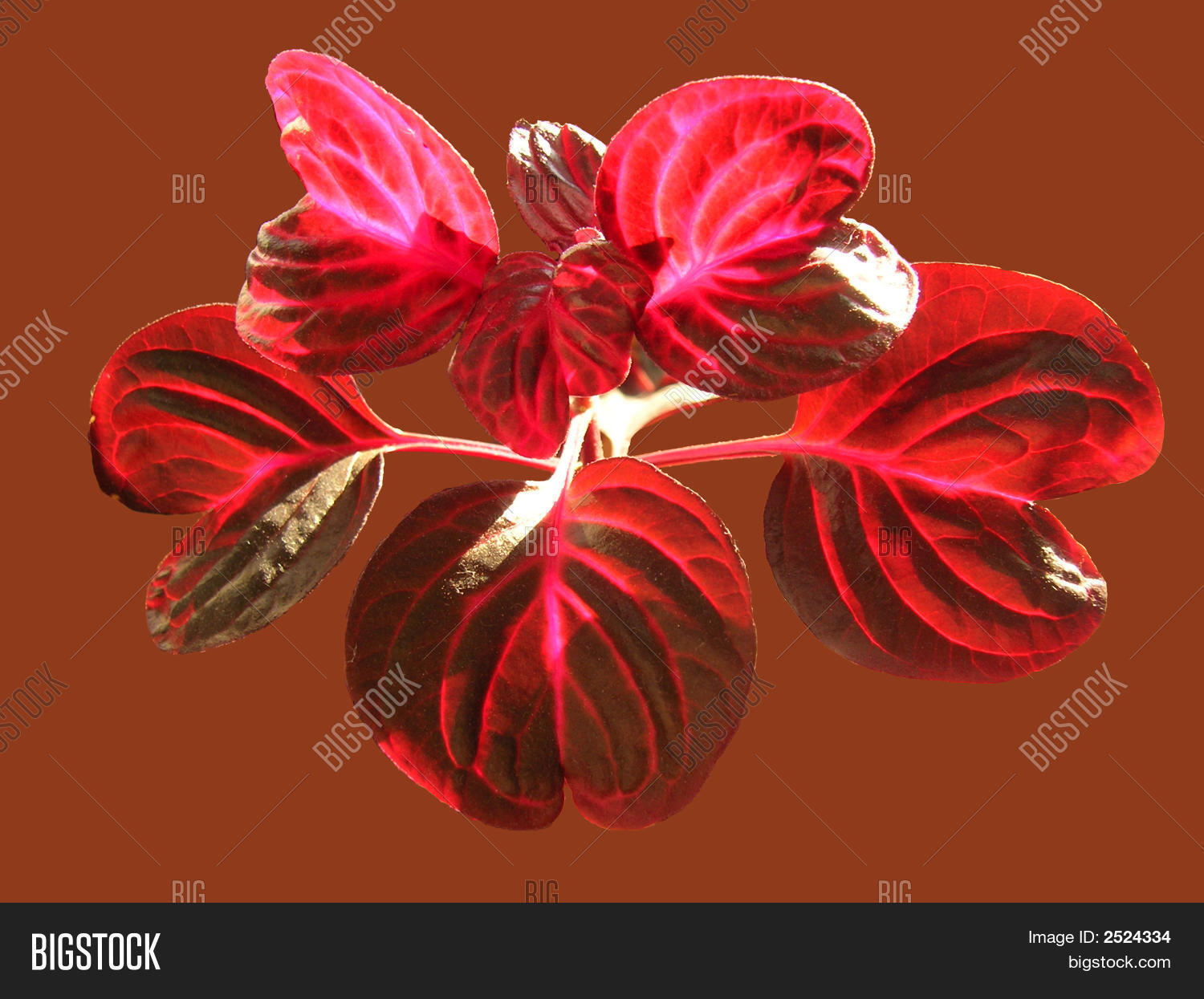 Red Leaves Of Indoor Plant Stock Photo Stock Images