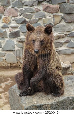 Brown Bear In Zoo