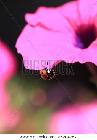 Ladybug on Petunia