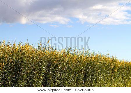 Campo de plantas de cânhamo industrial