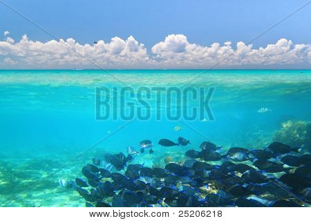A shoal of blue fishes in Caribbean Sea