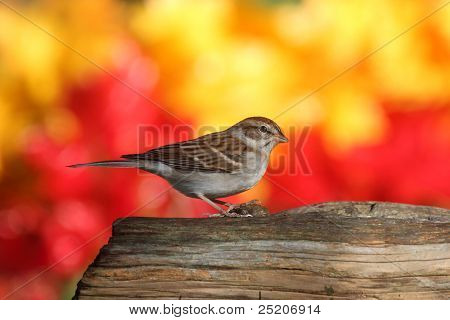 Sparrow On A Stump In Fall