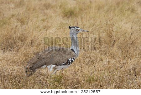 Kori Bustard In The  Ngorongoro Crater