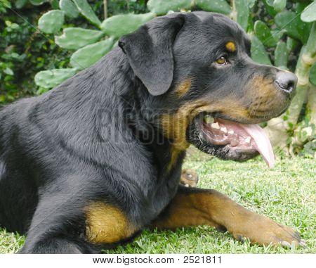 Rottweiler Close