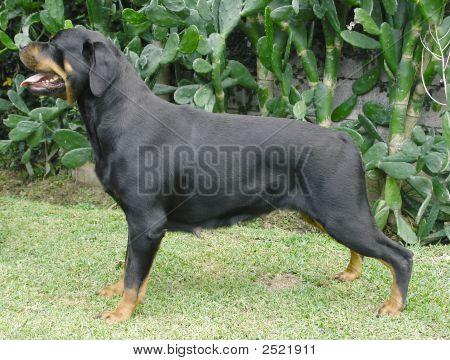 Rottweiler Posing