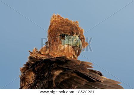Bateleur Portrait