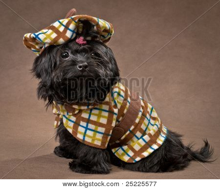 Russian color lap dog in studio in the dress