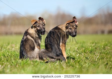 Zwei Deutsche Schäferhunde Welpen