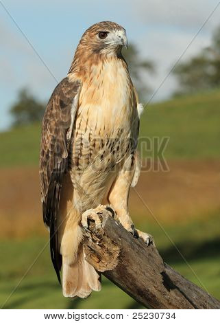 Perched Red Tailed Hawk