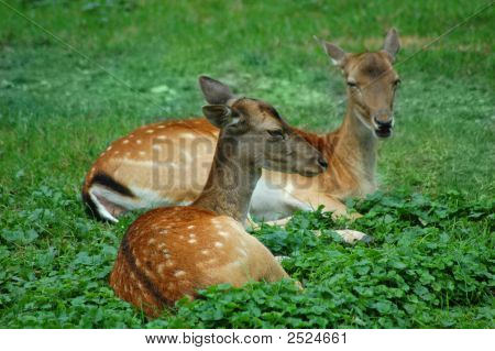 Couple Of Deer