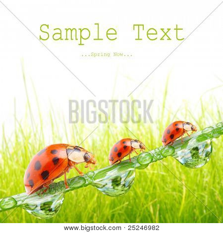 Ladybugs family on a dewy grass. Picture with space for your text.