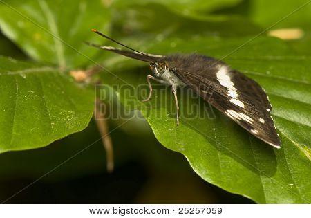 Limenitis Camilla