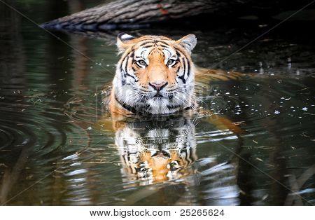 Tigre real de Bengala