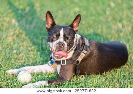 Boston Terrier Female Resting Off