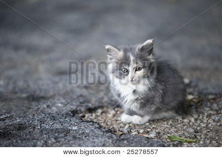 Stray Gray Kitten