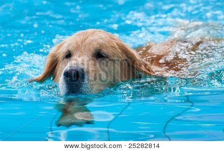 Dog swimming. Front View