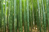 stock photo of bamboo forest  - Beautiful bamboo forest in near Arashiyama - JPG