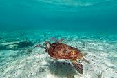 pic of sea-turtles  - Green turtle in nature of Caribbean sea - JPG