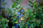 Bush Of Ripe Bilberry Close Up. Bush Berries In The Swamp In The Forest. Blueberries Are Blue And Gr poster