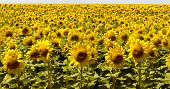 Agriculture. A Blossoming Sunflower Flower On The Farm Field. Natural Summer Background Of A Bright poster