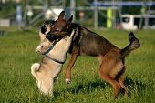Dogs Play With Each Other. Young Pug-dog. Merry Fuss Puppies. Aggressive Dog Attack. Training Of Dog poster