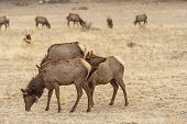 North American Elk Grazing In A Meadow In Late Winter In Beaver Meadows In Rocky Mountain National P poster