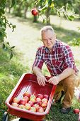Old Man With Apple In The Orchard. Grandfather With Organic Apple In The Garden. Harvest Concept. Ga poster