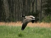 image of canada goose  - Goose soaring over a field on a sunny day - JPG