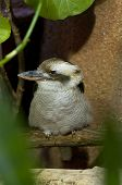 foto of blue winged kookaburra  - Profile Image of Kookaburra Bird sitting on the branch among leaves - JPG