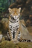 picture of ocelot  - Close - JPG