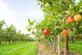 stock photo of apple orchard  - Apple orchard - JPG