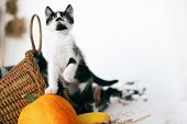 Cute Kitty Playing On Pumpkin At Cozy Wicker Basket And Zucchini In Light On Wooden Background. Harv poster