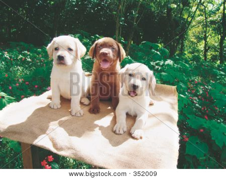 Three Labrador Puppies