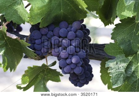 Red Grape Cluster On Vine