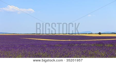 Lavender Flowers Blooming Field, Wheat Lines. Valensole, Provence, France.