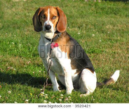 Beagledogheavylrash