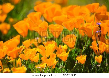 Brightly Lit California Poppies
