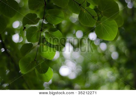 Katsura Leaves From Below