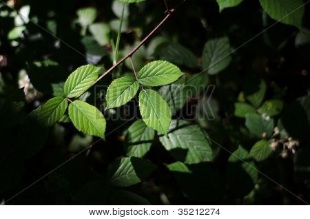 Bramble Leaves On Forest Floor