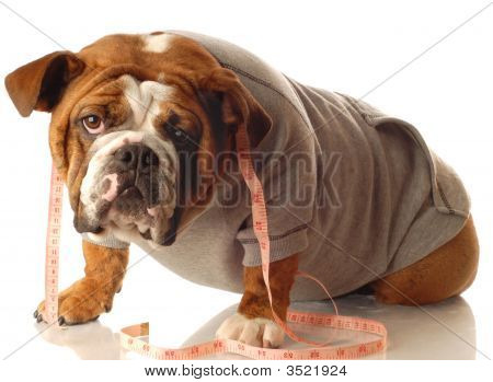 English Bulldog Working Out
