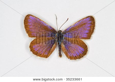 Silver-studded Blue Top View