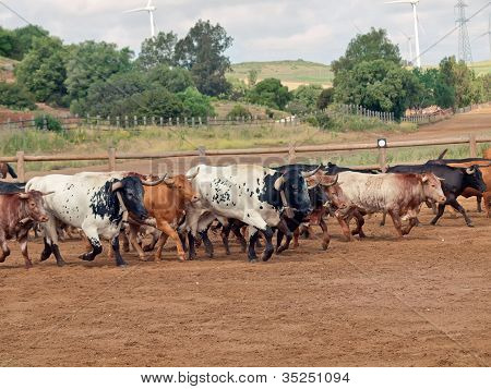 Herd Of Cow With Calves. Spain, Andalusia