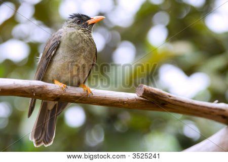 Seychelles Bulbul